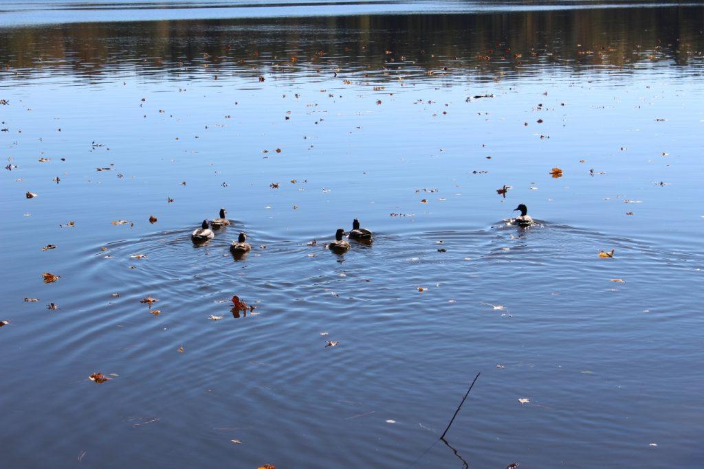 No lago do meu Condomínio a família de patos passeia, curtindo o sol e o calorzinho!