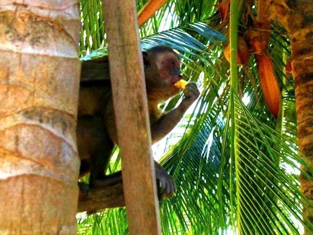 ou dando banana para os macacos (aliás, eles roubam da sua mão. São muito rápidos)!