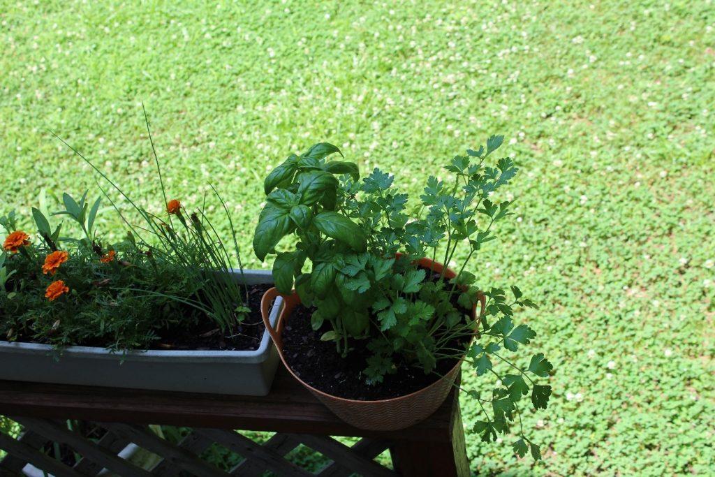 salsinha parsley manjericao horta caseira