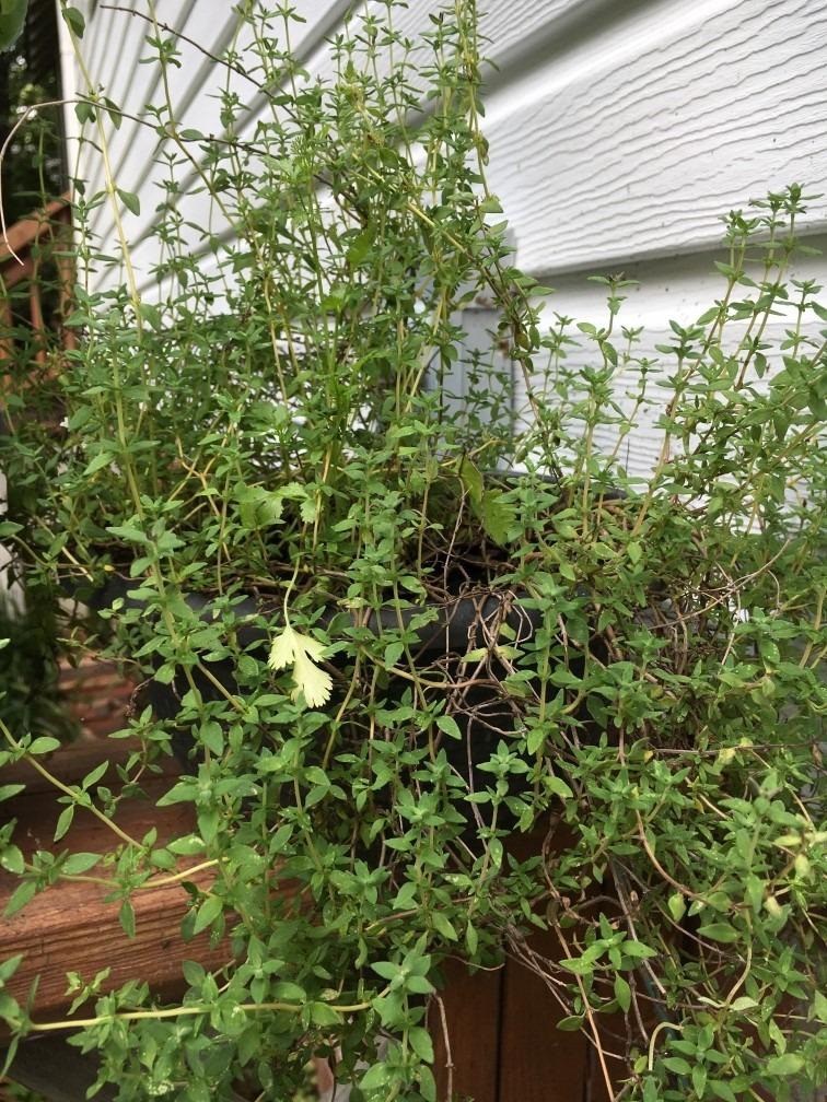 oregano ervas aromaticas horta caseira